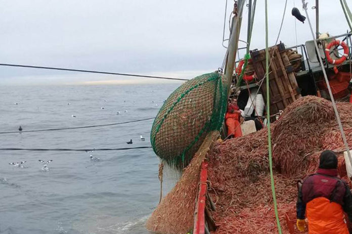 langostino fresco - mar argentino